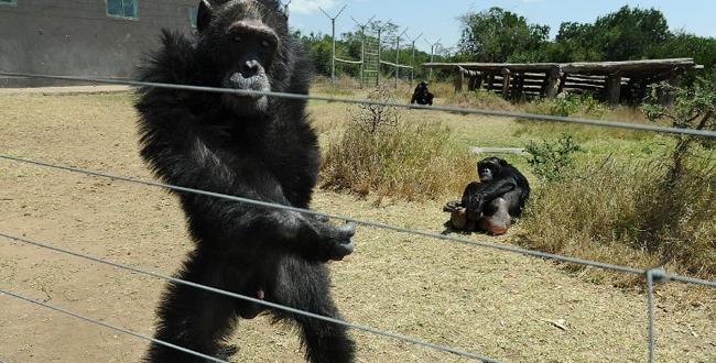 Planeta małp istnieje naprawdę - prowadzili tam okrutne eksperymenty