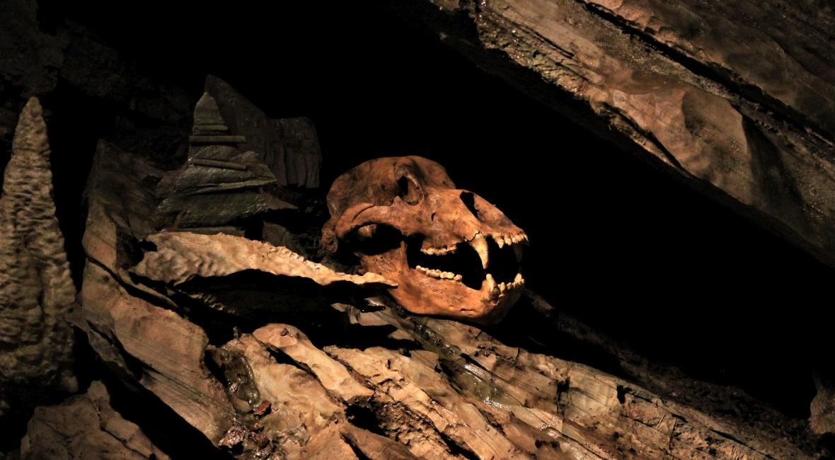 Czaszka niedźwiedzia jaskiniowego w Spannagel Hoehle. Na zdjęciu widoczna replika - oryginał znajduje się w muzeum