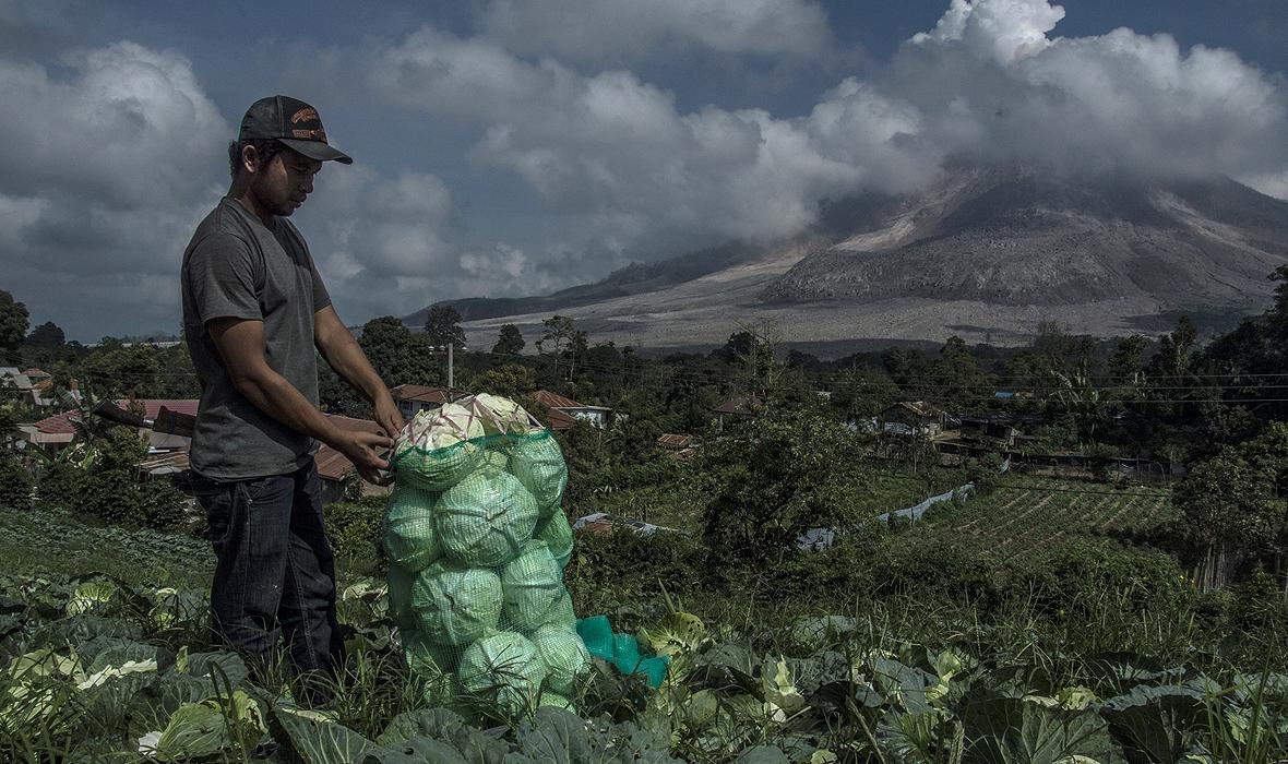 Indonezyjski farmer nie zwraca uwagi na dymiący w oddali Sinabung – wulkan w północnej części Sumatry