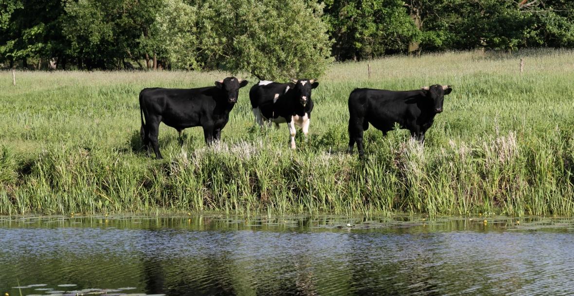 Dzikie krowy, których los zależy od tego, czy ludzie się dogadają