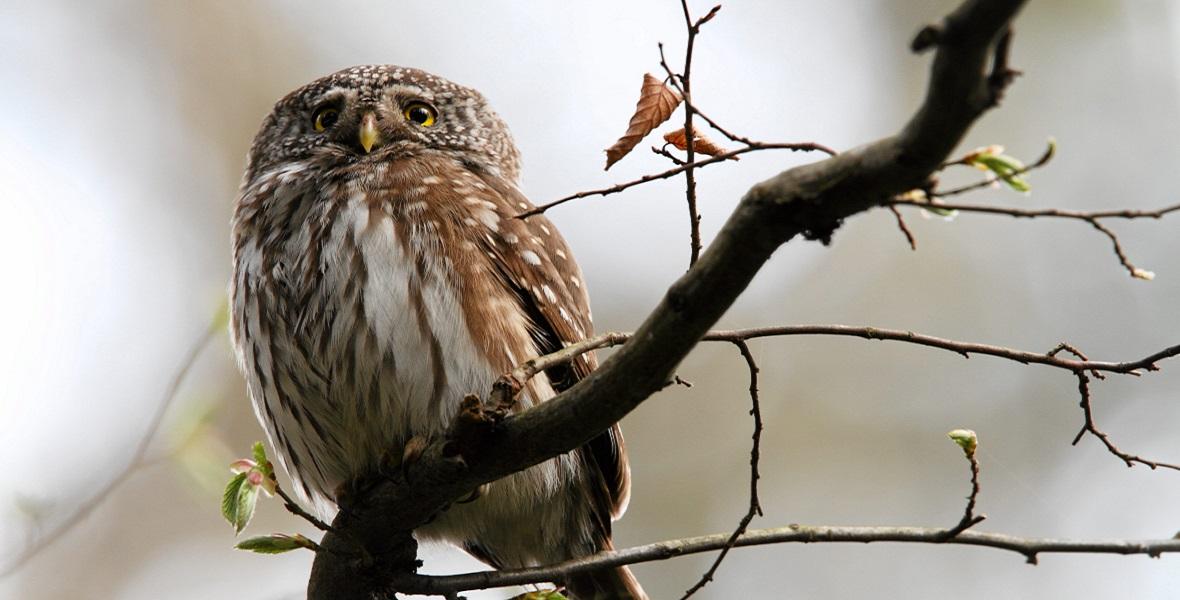 Sóweczka to rzadki ptak, którego można spotkać właśnie w Arłamowie.