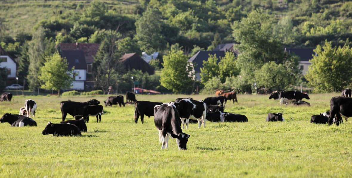 Stado dzikich krów musi znaleźć ochronę i opiekę. Niestety jest spór o to, kto ma się nimi zająć