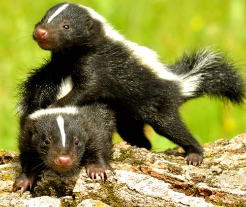 Skunks w domu