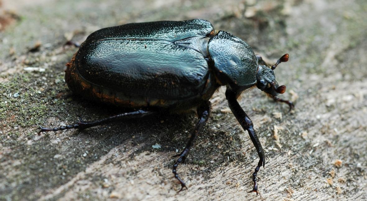Pachnica próchniczka (Osmoderna eremita) - chrząszcz, relikt lasów pierwotnych, ściśle związany ze starymi, dziuplastymi drzewami