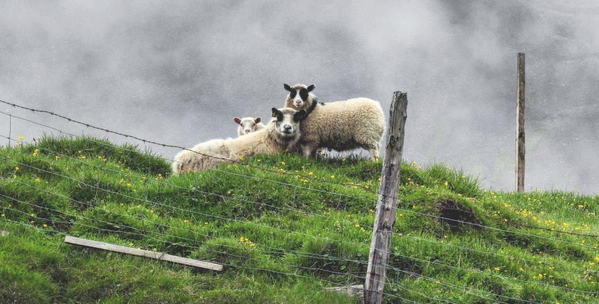 Owiec, biegających po ogromnych pastwiskach, jest na wyspie trzy razy więcej niż ludzi