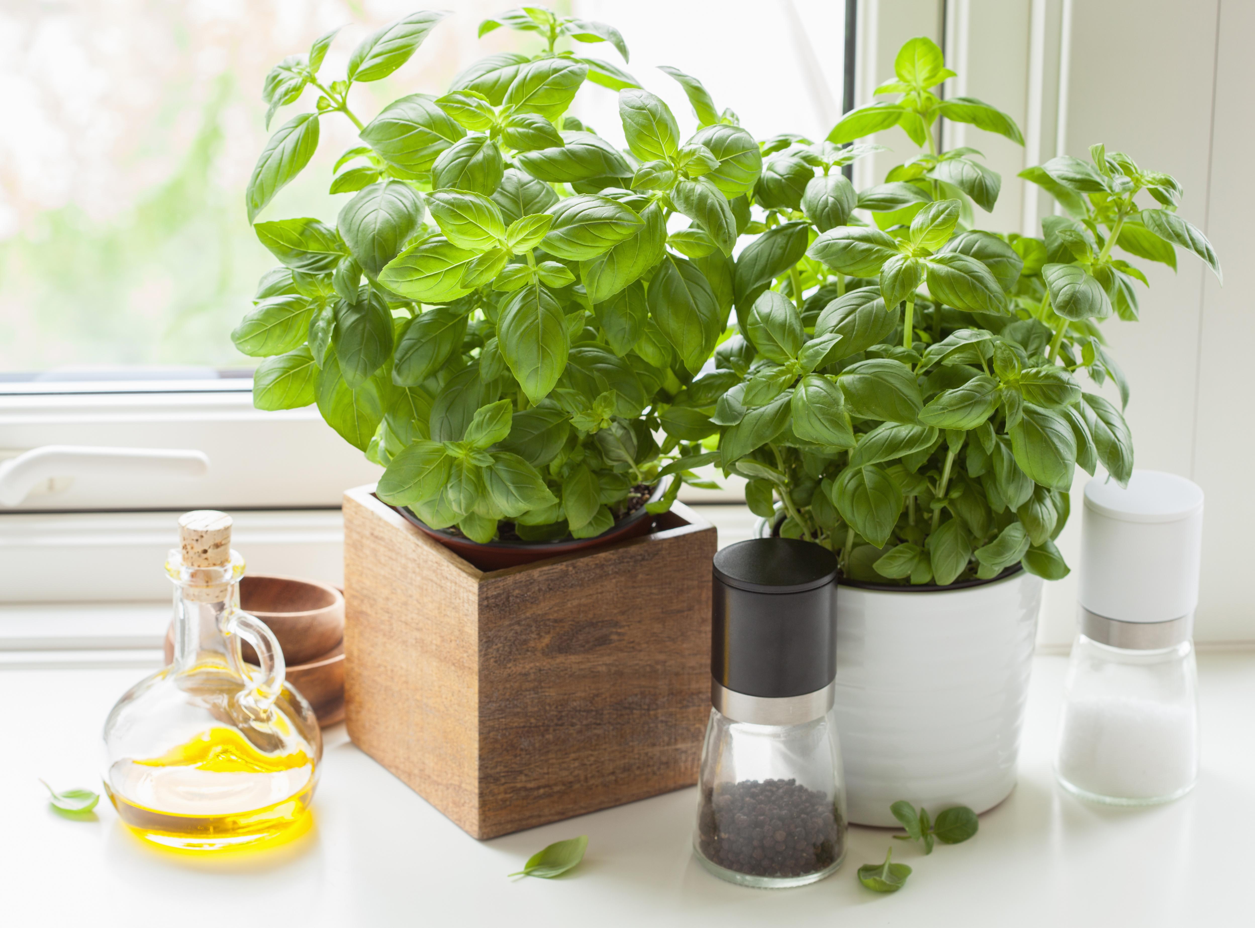 Roślina, która świetnie smakuje jako dodatek do mozzarelli i pomidorów to: