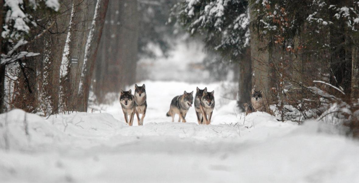 Wilki w Puszczy Białowieskiej
