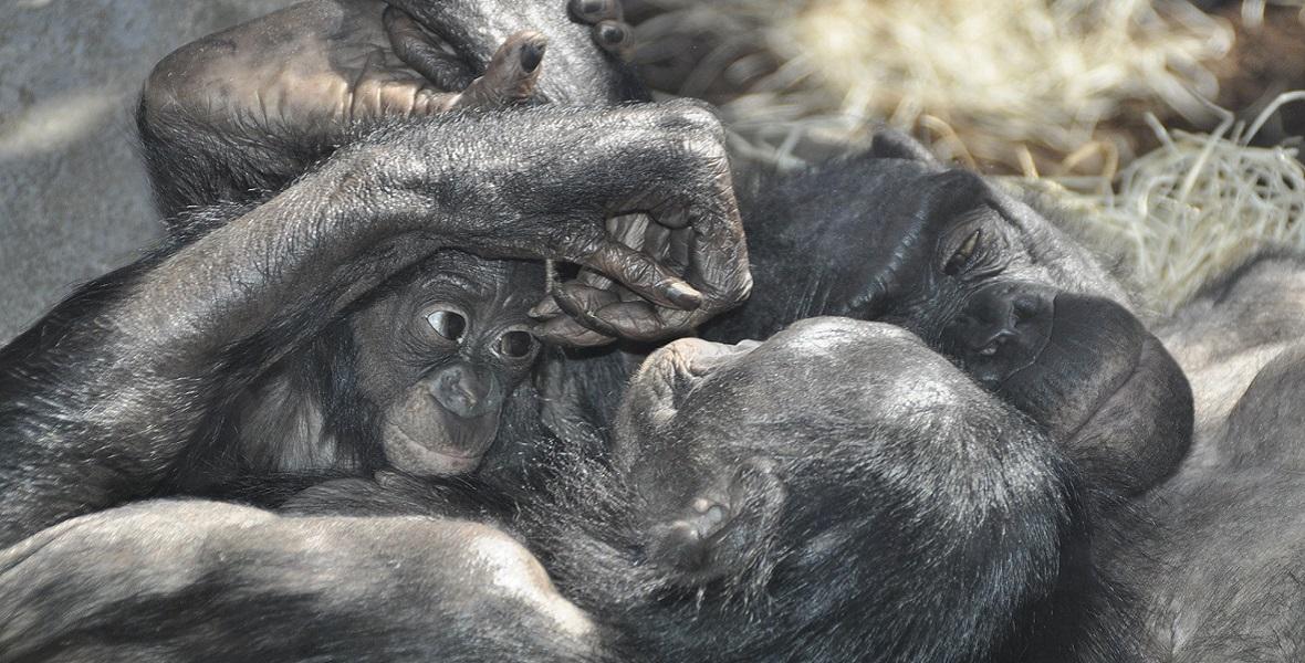 Samic bonobo nie trzeba zmuszać ani do seksu, ani do okazywania czułości