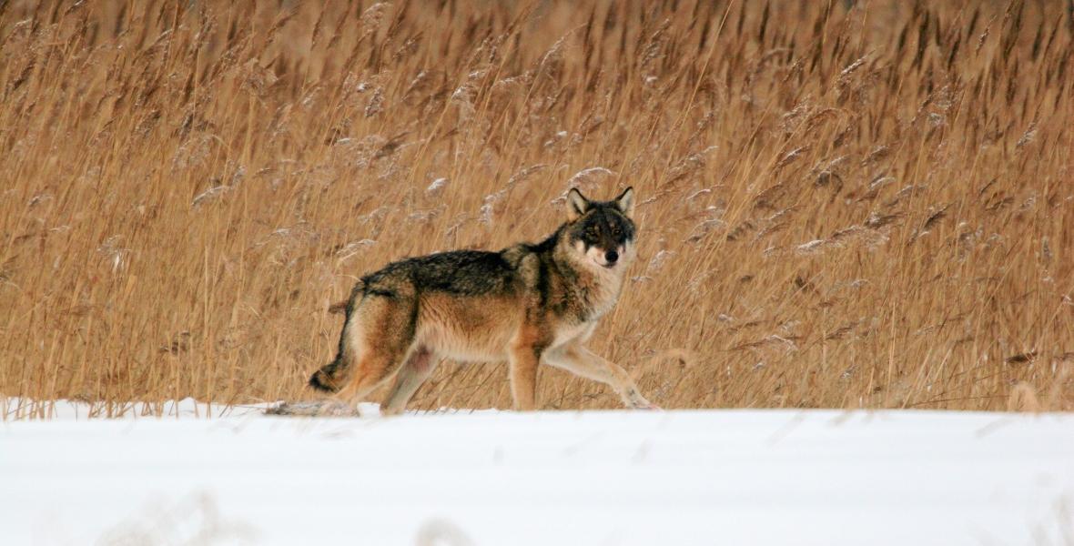 Wilk w Puszczy Białowieskiej