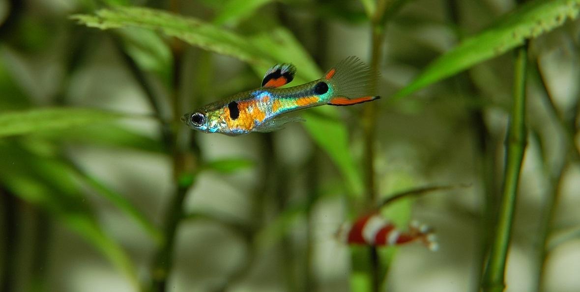 """Niektóre samce gupików mają na górnej szczęce """"rybie wąsy"""", którymi zachęcają partnerki do kopulacji"""