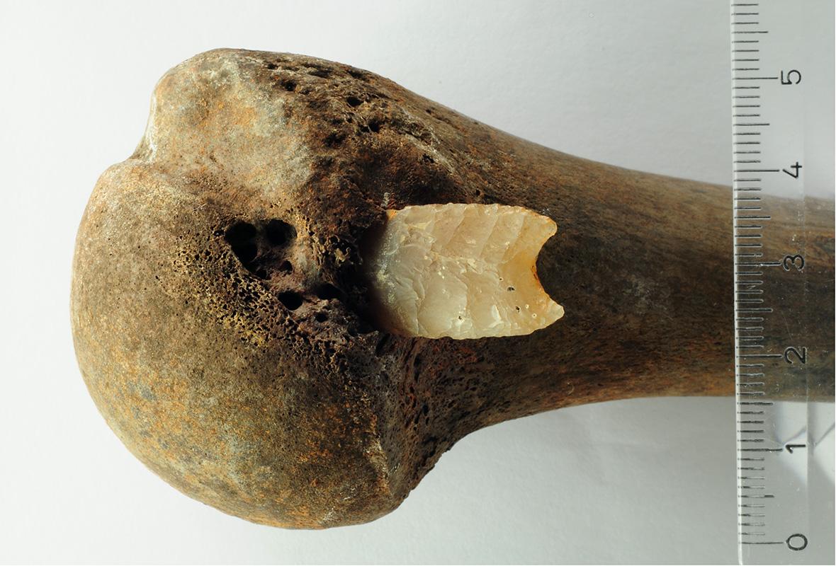 Kość ramienia młodego mężczyzny z wbitym grotem strzały z krzemienia